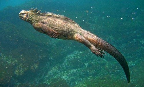 Giant Marine Iguana