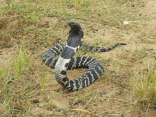 Нашийникова кобра