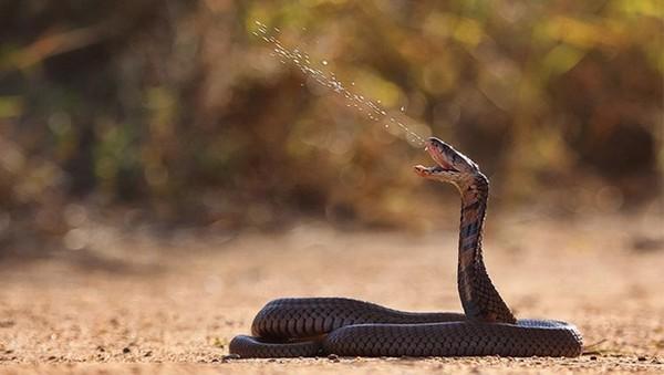 Плювальна індійська кобра