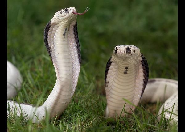 Сіамська кобра