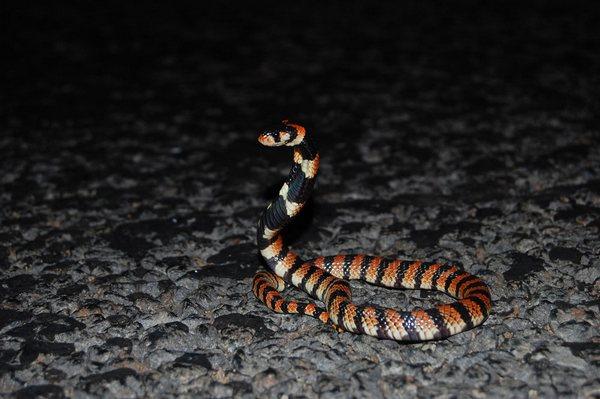 Південноафриканська щиткова кобра
