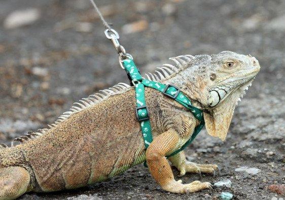 Iguana pet