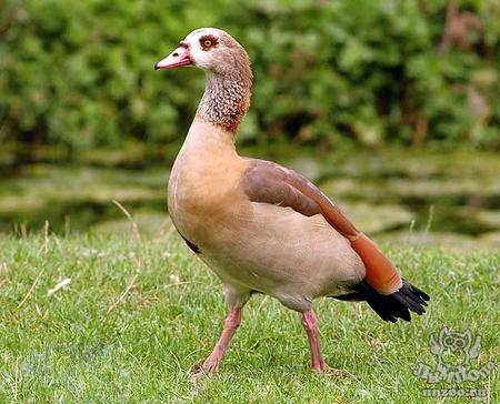 єгипетський гусак