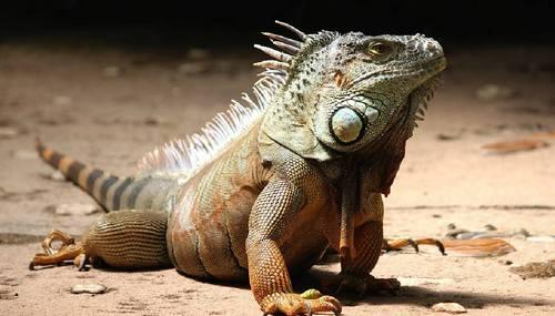 Як спілкуються тварини: Мадагаскарські колючо- хвості ігуани