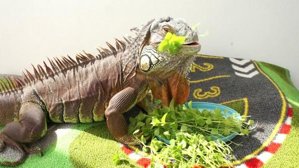 Iguana eat