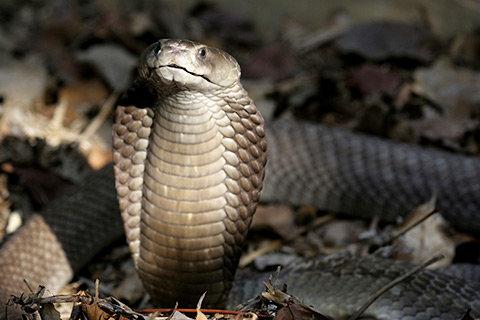 кобра
