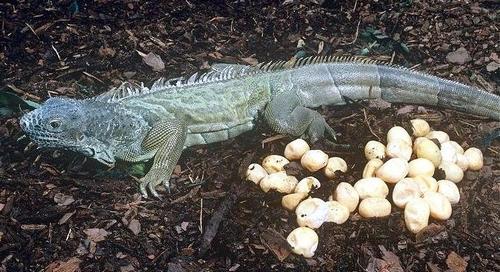 Eggs of iguana