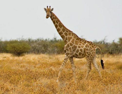 Ангольський жираф