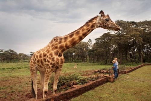 Нубійський жираф