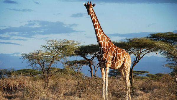 Сітчатий жираф