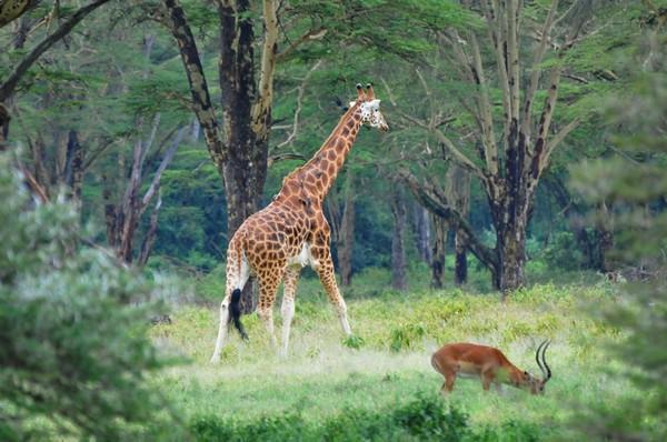 Угандійський жираф