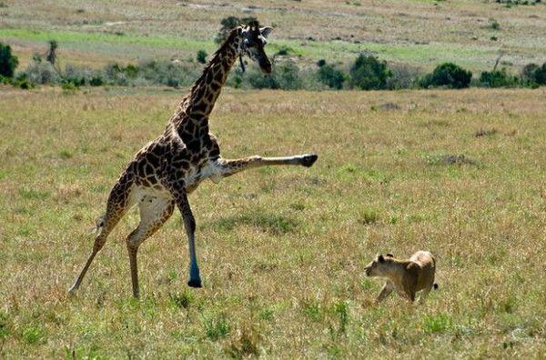 Жираф проти лева