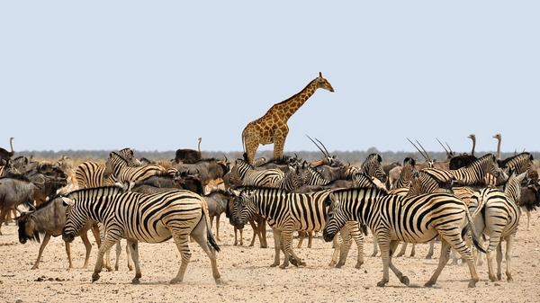 Зебри та жираф