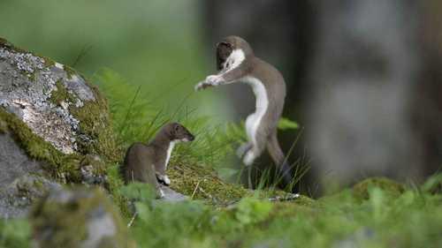горностаї грають