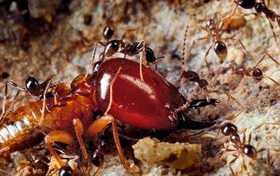 муравьи против термитов