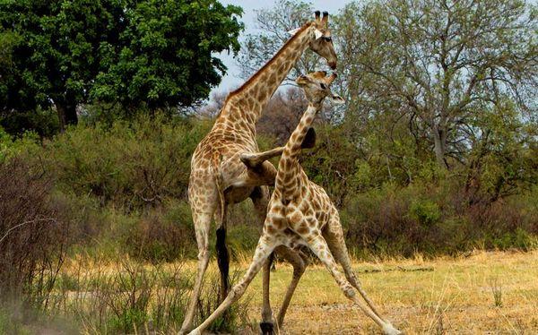 двобій жирафів
