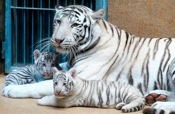 тигр альбинос