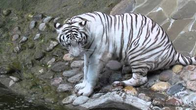 тигр альбінос