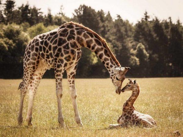 жираф мама і дитинча