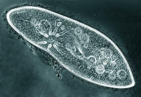 Инфузория туфелька под микроскопом