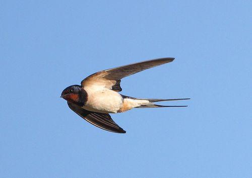 ластівка в польоті