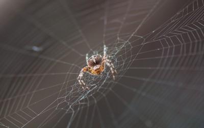 павутина павука