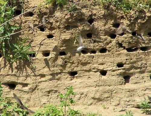 гнезда ласточек