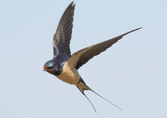 ласточка летит