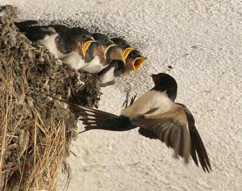 ласточкины гнезда