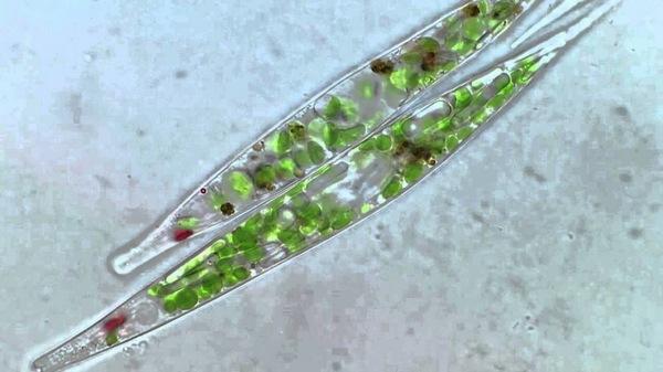 Эвглена зеленая под микроскопом