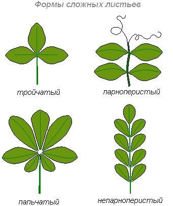 Формы сложных листьев