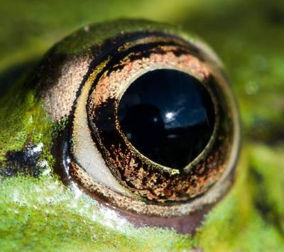 око жаби