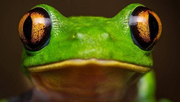 очі жаби