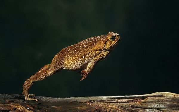 жаба в стрибку