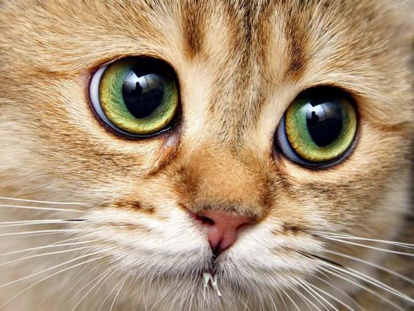 око кішки