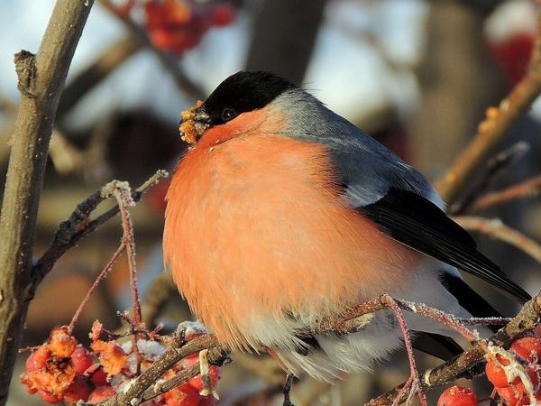 товста пташка