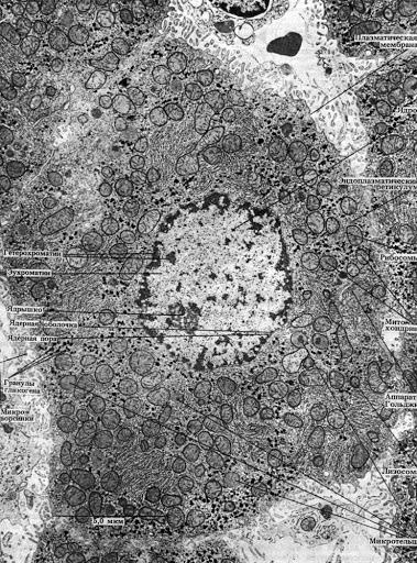 мікрофотографія клітини щура