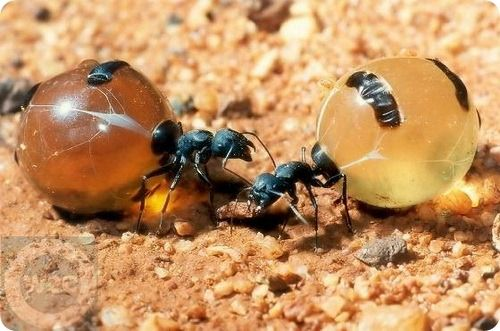 муравье медовые горшки