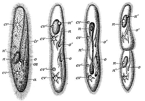 asexual reproduction of ciliates