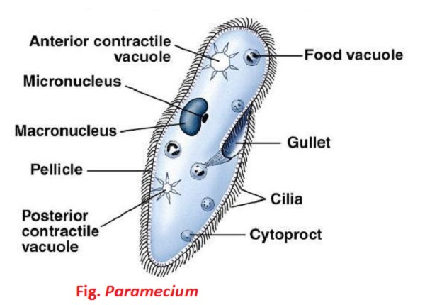Structure of Paramecium