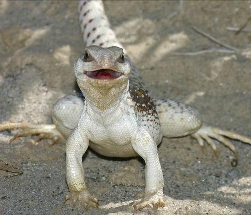 дипсозавр дорсалис