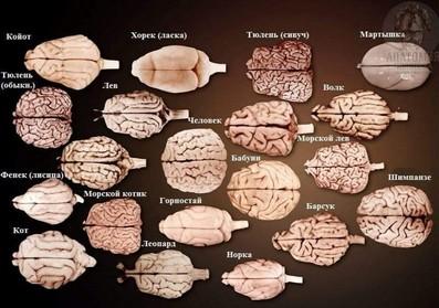 мозг у животных