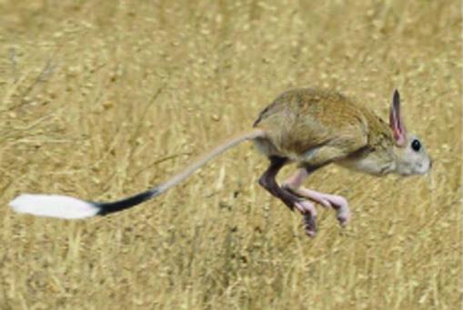 тушканчик біжить