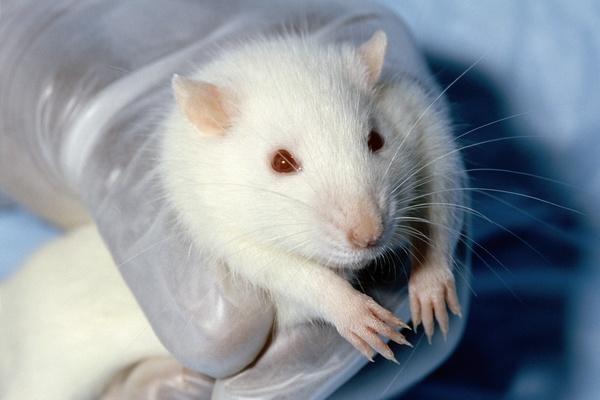 лабораторна миша