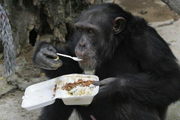 шимпанзе їсть