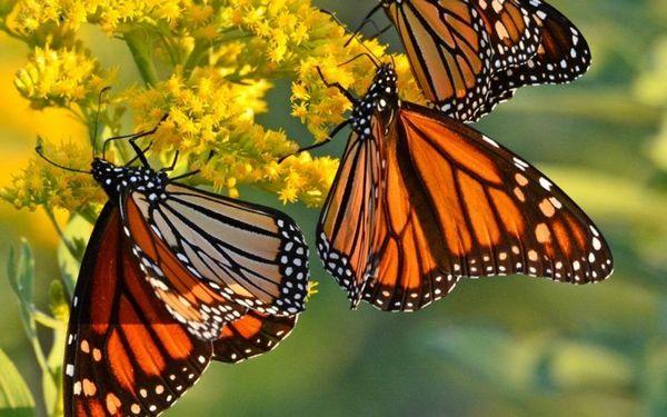метелик монарх