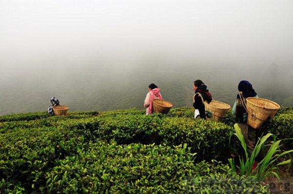 збирачі чаю