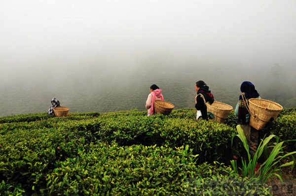 собиратели чая