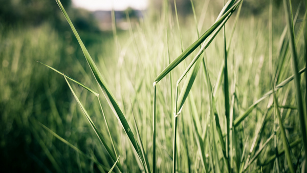 стебло трави