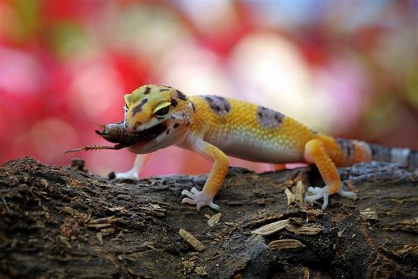 геккон ест